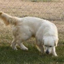 european white golden retrievers