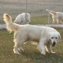 english cream golden puppies