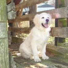 white golden puppies