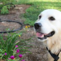 Tips for Training Your Golden Retriever