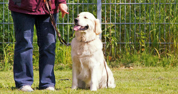 Train Your Golden Retriever as its Master